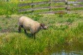 Ewes of shropshire — Stock Photo