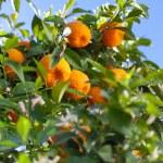 Ripe tangerines on a tree branch — Stock Photo #69818629