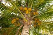 Coconuts in palm tree — Stock Photo