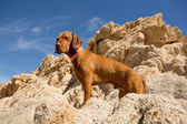 Golden dog with cliff in background — Stock Photo