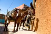 Mexican donkey — Stock Photo