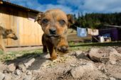Stray puppy stepping towards the camera — Stock Photo