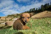 Mexican stray dog puppy — Stock Photo