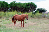 Brown Horse in a meadow — Stock Photo