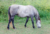 Grey Horse in a meadow grazing — Stock Photo