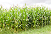Planting corn with high plants — Stock Photo