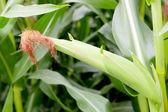 Closeup photo of leaves of a corn plant — Foto de Stock