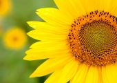 Beautiful sunflower with bright yellow — Stock Photo