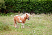 Brown Pony grazing in a meadow  — Stock Photo