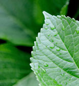 Water droplets on a lush leaf — Stock Photo