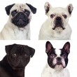 Four portraits pug dogs — Stock Photo #56827249