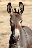 Funny donkey looking at camera   — Stock Photo