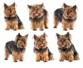 Sequence a nice dog yorkshire — Stock Photo