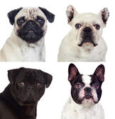 Four portraits pug dogs — Stock Photo