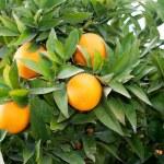 Nice tree with many oranges, — Stock Photo #68691995