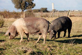 Iberian pig in the field of Spain. — Stock Photo