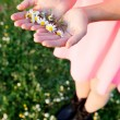 Woman hands holding a daisies — Stock Photo #71081059