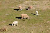 Sheeps grazing in the meadow of Extremadura — Stock Photo