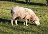 Sheep grazing in the meadow of Extremadura  — Stock Photo