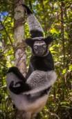 The largest lemur of Madagascar — Stock fotografie