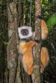Dancing lemur — Stock fotografie