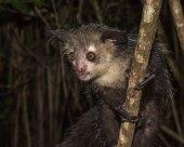Nocturnal lemur — Stock Photo