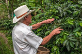 Old farmer harvesting coffee beans — Stock fotografie