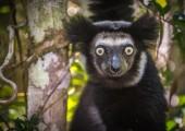 Indri   lemur — Stock fotografie