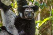 Indri lemur — Stock Photo
