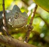 Colorful chameleon — Foto Stock