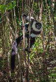 Ruffed lemur of Madagascar — Stock Photo