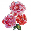 Two pink and red roses flowers original watercolor art isolated — Stock Photo #64319495