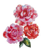 Two pink and red roses flowers original watercolor art isolated  — Stock Photo