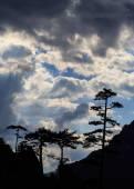 Mountain scenery with black pine trees Pinus nigra — 图库照片