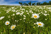 Wild daisies in a country meadow — Stock Photo