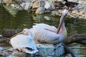 Пеликаны на скалах — Стоковое фото