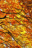 Maple branches of. — Stockfoto