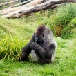 Male silver back gorilla eating green leafs — Stock Photo #52108357