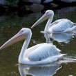 Great White Pelican — Stock Photo #52108493