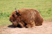 European Bison, also called the Wisent — Stock Photo