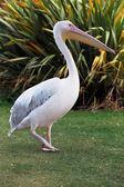 Roze pelikaan — Stockfoto