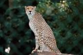 Cheetah in enclosure — Stock Photo