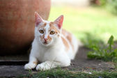 Young white and red cat laying down in the garden — Stock Photo