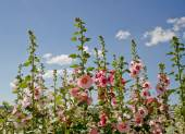 Hollyhocks against cloudy blue skyline — Stock Photo