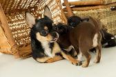 Bitch feeds chihuahua puppies — Stock Photo