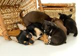 Chihuahua puppies suck milk — Stock Photo