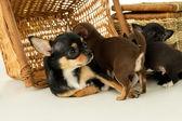Mom Chihuahua puppy lies — Stock Photo