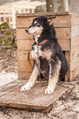 Husky dog siberian animal — Stock Photo