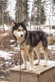 Husky dog siberian animal — Foto de Stock