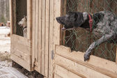 Husky dog siberian animal — Foto de Stock